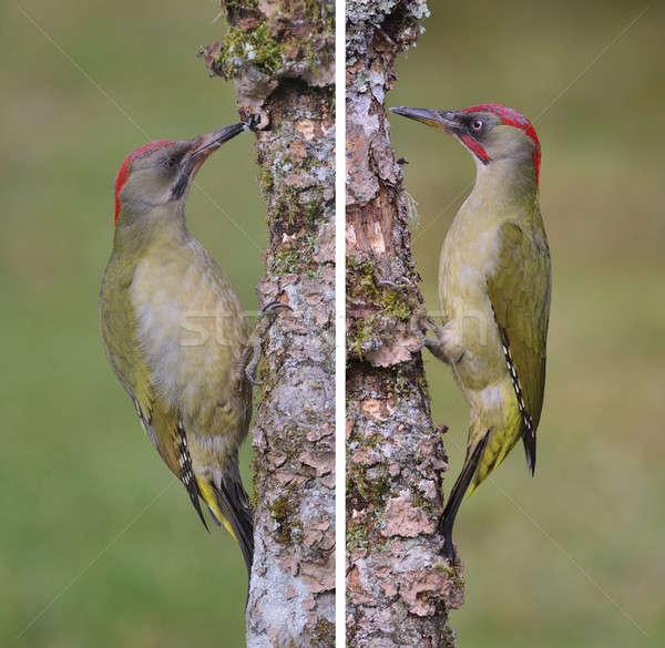 Pair european green woodpecker. Stock photo © asturianu