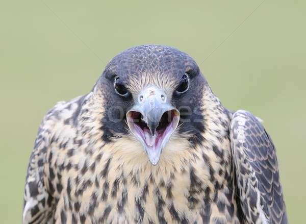 Falcon aggressivo atteggiamento faccia uccello animale Foto d'archivio © asturianu