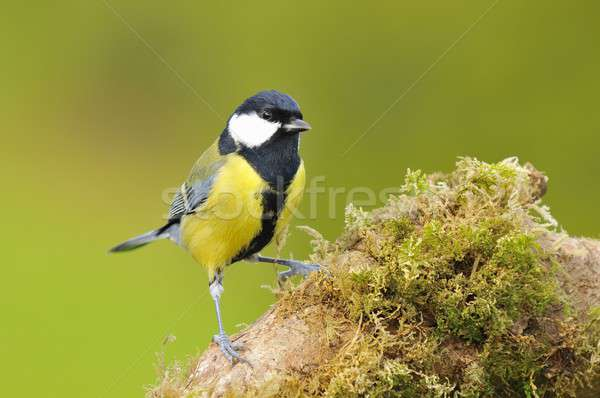 Great tit, parus major. Stock photo © asturianu
