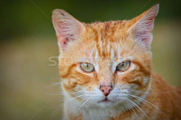Portrait of red and white haired cat Stock photo © asturianu
