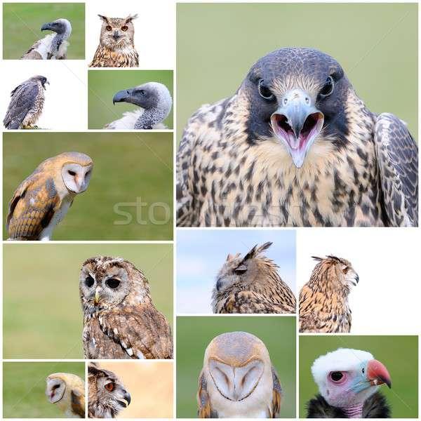 Foto stock: Falcoaria · aves · colagem · diferente