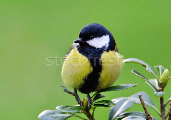 Close-up of great tit sitting on green leaves Stock photo © asturianu