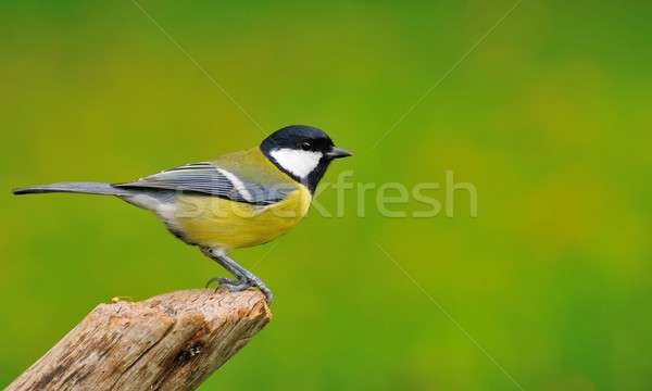 Great tit in garden. Stock photo © asturianu