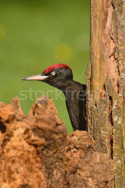 Black woodpecker, Dryocopus martius perched on old dry branch. Stock photo © asturianu