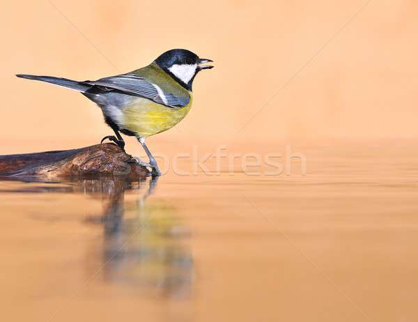 Madár szomjas víz szín színek szökőkút Stock fotó © asturianu