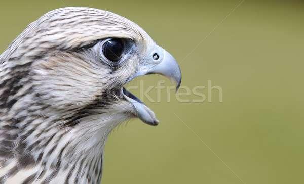Sólyom zöld fej ragadozó csőr veszélyeztetett Stock fotó © asturianu