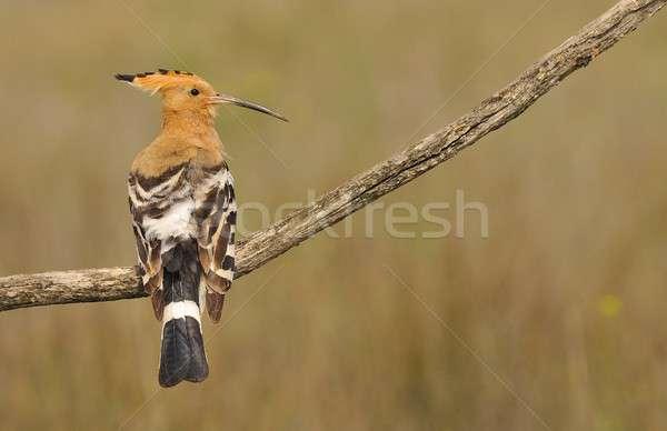 Eurasian Hoopoe or Upupa epops, beautiful brown bird. Stock photo © asturianu