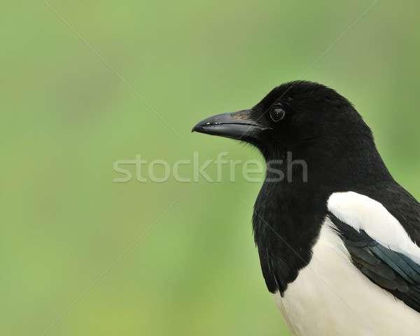Stock photo: Magpie.