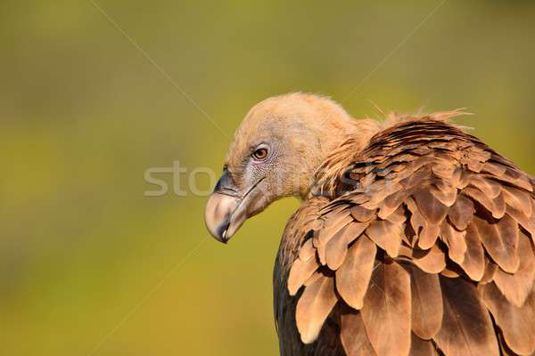 Close-up of griffon vulture head. Stock photo © asturianu