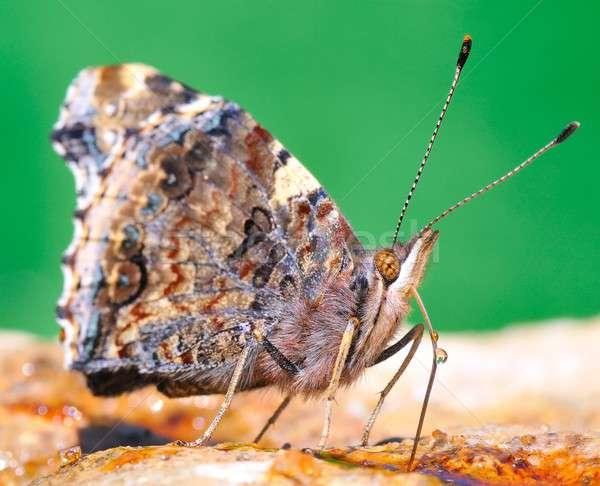 Butterfly. Stock photo © asturianu