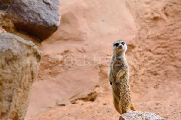 Stock photo: Suricate standing on rock