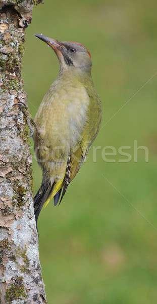 Mannelijke europese groene tak bos natuur Stockfoto © asturianu