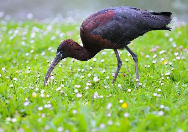 Glossy ibis. Stock photo © asturianu