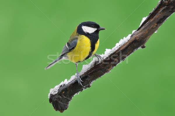 Great tit in the winter. Stock photo © asturianu