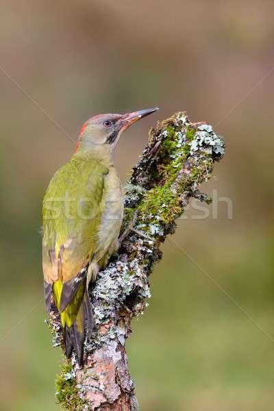 Male european green woodpecker on a branch Stock photo © asturianu