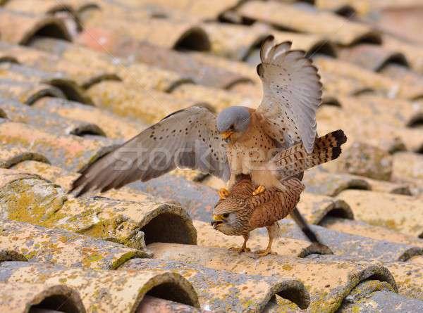 Male and female of Lesser kestrel. Falco naumanni. Stock photo © asturianu