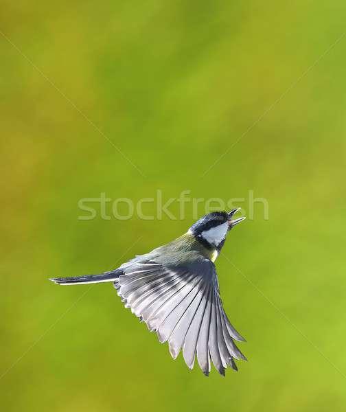 Stockfoto: Vogel · vlucht · groot · tit · groene · voorjaar