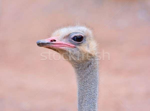 Strucc csukott szemmel közelkép vad fej állat Stock fotó © asturianu