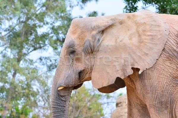 Elefantes boca presa cinza natureza Foto stock © asturianu