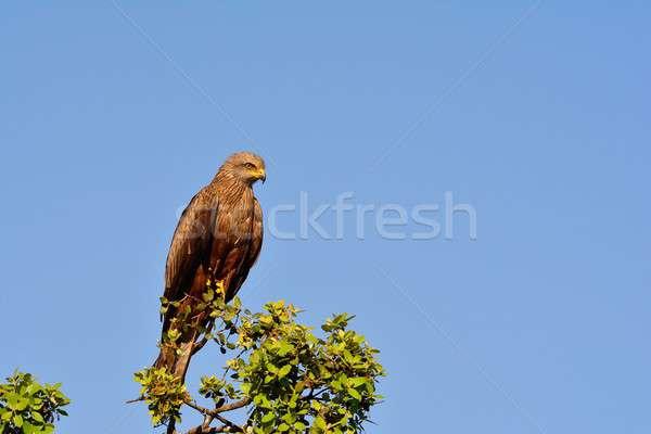 Black kite on leafless branch Stock photo © asturianu
