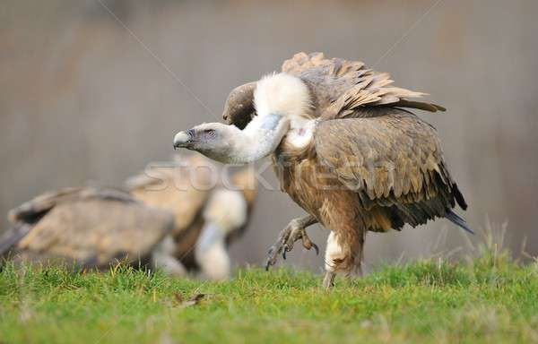 Griffon vulture in the meadow of Leon. Stock photo © asturianu