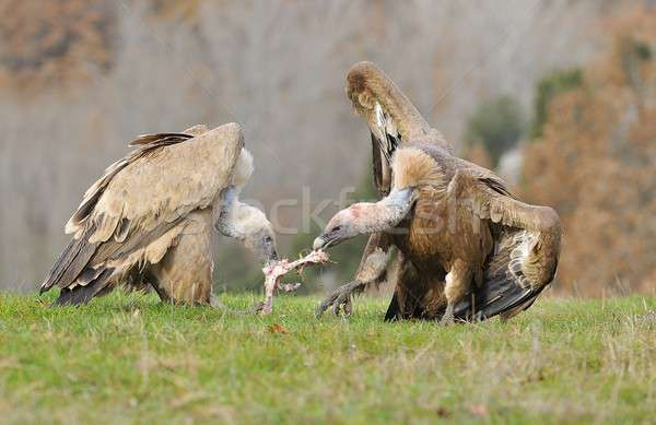Two griffon vultures fighting over carrion. in the meadow. Stock photo © asturianu