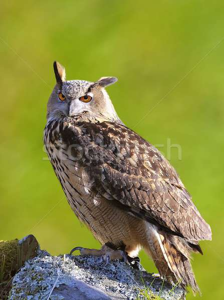 Eagle owl oeil yeux orange oiseau nuit Photo stock © asturianu
