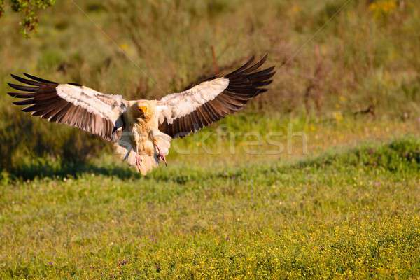 Egyptian vulture landing with outstretched wings. Stock photo © asturianu