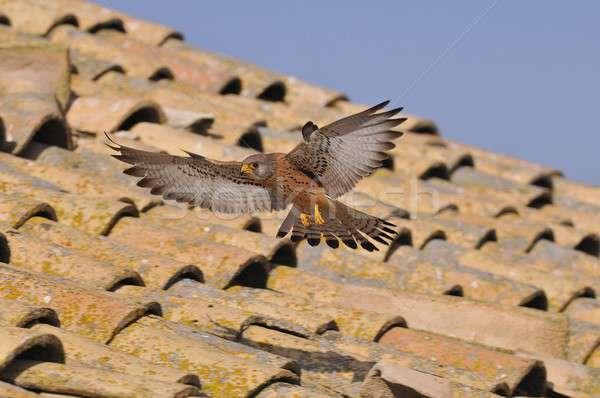 Pływające dachu mężczyzna gruntów charakter ptaków Zdjęcia stock © asturianu