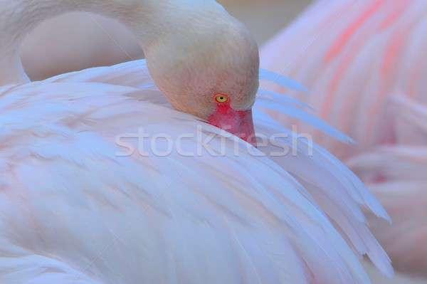 Uyku flamingo pembe gizleme gaga Stok fotoğraf © asturianu