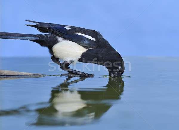 Su kuş kuşlar fauna tür yetişme ortamı Stok fotoğraf © asturianu