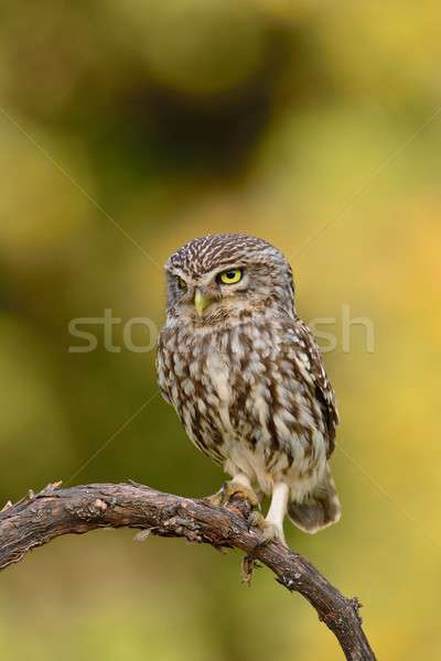 Pequeño búho rama naturaleza verano aves Foto stock © asturianu