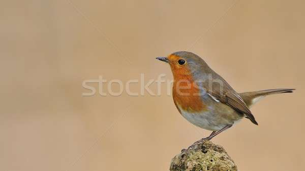 Robin. Stock photo © asturianu