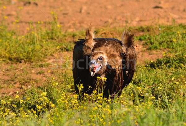 Dögkeselyű eszik fekete sétál fényes zöld fű Stock fotó © asturianu
