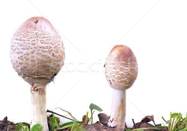 Macrolepiota procera. Stock photo © asturianu