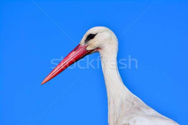 белый аистов Blue Sky вид сбоку природы Сток-фото © asturianu