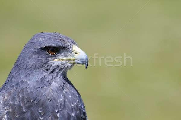 Olho pássaro cabeça animal Foto stock © asturianu