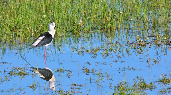 Black-winged stilt in water Stock photo © asturianu