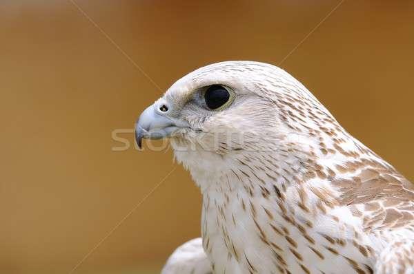 Halcón marrón cabeza depredador pico Foto stock © asturianu