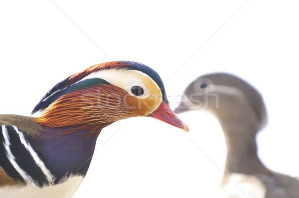 Mandarin duck, Aix galericulata. Stock photo © asturianu