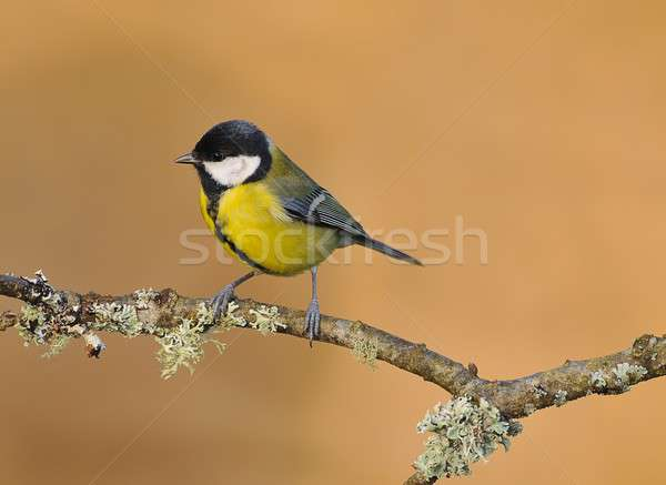 Parus Major Stock photo © asturianu