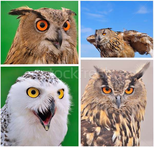 Owls. Stock photo © asturianu
