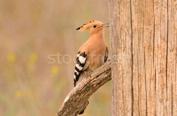 Güzel kahverengi kuş şube bekleme civciv Stok fotoğraf © asturianu