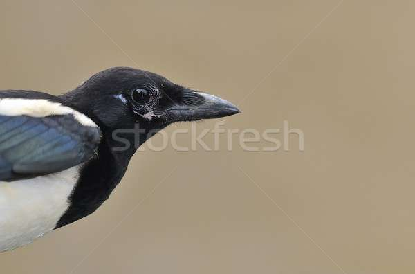 Magpie. Stock photo © asturianu