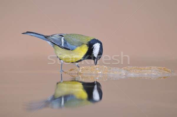 Great tit Stock photo © asturianu