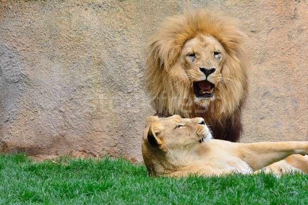 Big lion roaring while sitting near lioness Stock photo © asturianu