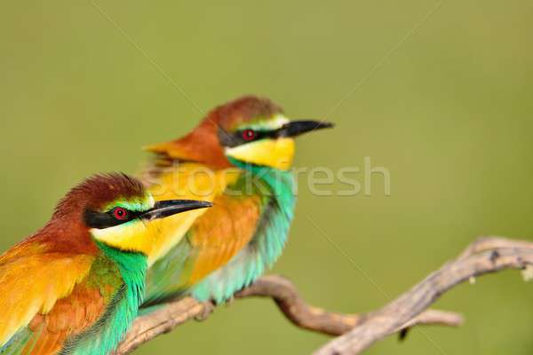 Couple of bee-eaters on leafless branch Stock photo © asturianu