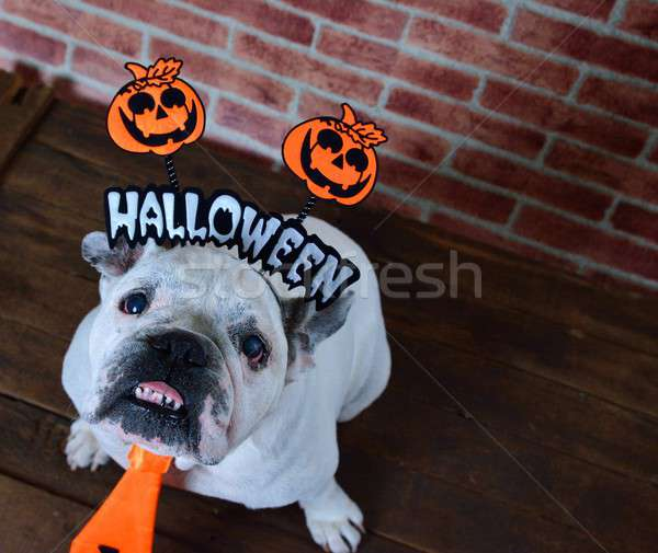 Portrait of french bulldog with Halloween props.  Stock photo © asturianu