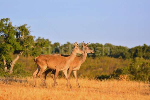 Two brocket red deer stag in autumn meadow.  Stock photo © asturianu