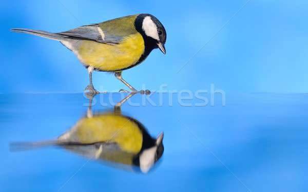 Stock photo: Parus major.